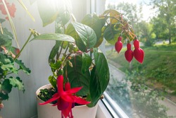 Pots with various flowers on windowsill. Home gardening and indoor plants concept. Fuchsia magellanica, hummingbird fuchsia or hardy fuchsia, is species of evening primrose family Onagraceae
