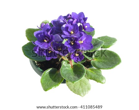 Potted African Violet isolated on white #411085489