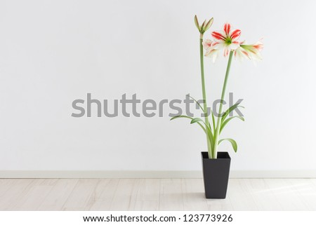Potted amaryllis in a room