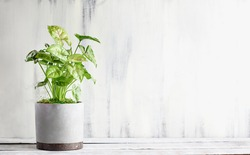 Potted Arrowhead Plant, Syngonium Podophyyum, houseplant over a rustic wood table with free space for text.