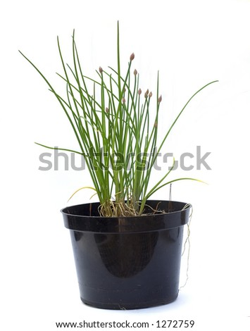 Potted Chive Plant on white background
