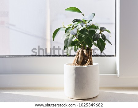 Potted Ficus Bonsai on light windowsill. Indoor flower for office concept - Shutterstock ID 1025349682