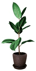 Potted ficus tree isolated on white (pipal)