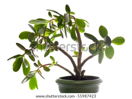 Jade plant Images and Stock Photos - Page: 4 - Avopix com