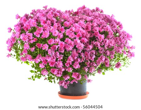 Potted magenta chrysanthemums bush in heart shape (with dew, isolated on white background) - stock photo