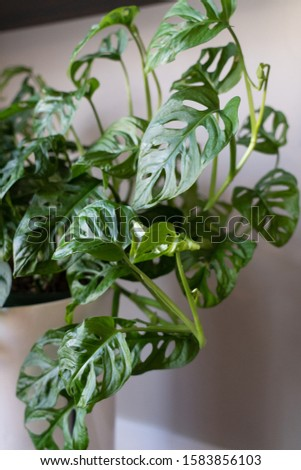 potted monstera adansonii or swiss cheese plant leaves