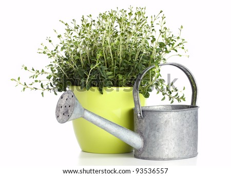 potted oregano plant and watering can isolated