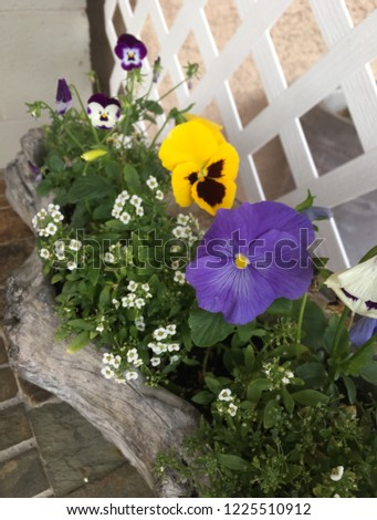 Potted pansies in wood planter against white lattice fence
