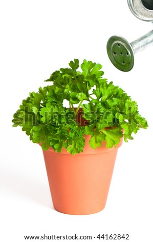 Potted parsley herb with watering can on white background