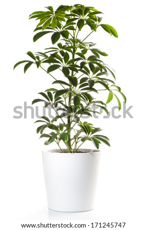 Potted Plant - Aralia  - Shutterstock ID 171245747