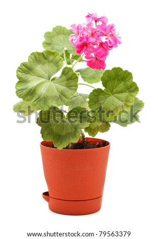 potted plant of geranium isolated on white