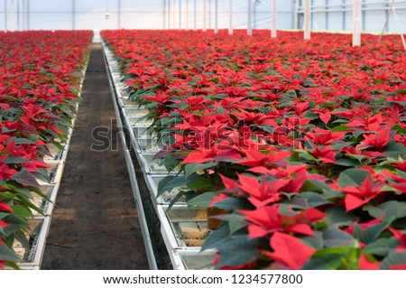 Potted plants Red Christmas stars flowers in greenhouse. Poinsettia Euphorbia pulcherrima red and green foliage.