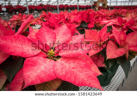 Potted Poinsettia Plants at Christmas Market