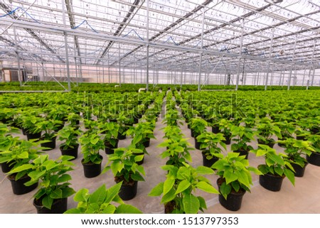 Potted poinsettia plants growing in greenhouse. Green plant waiting to bloom.