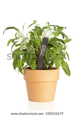 Potted sage plant with wooden designation tag isolated