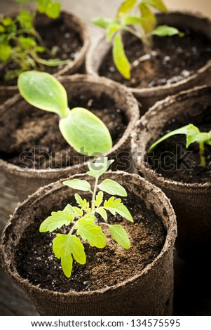 Potted seedlings growing in biodegradable peat moss pots close up