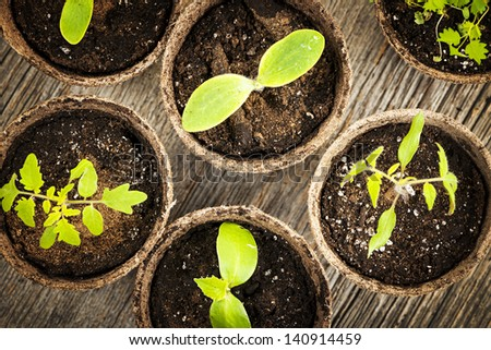 Potted seedlings growing in biodegradable peat moss pots from above