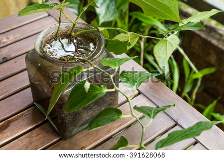 Potted vase at home stores stagnant water and breeding ground for mosquito
