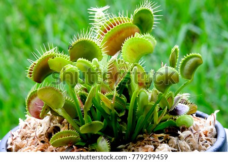 Potted Venus Flytrap