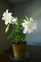 Potted white Easter lily on a table top. Symbol for purity and Easter as well as sympathy