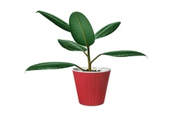 Potted young ficus tree isolated on white (pipal)