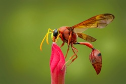 Potter wasp on red flower. Insect.