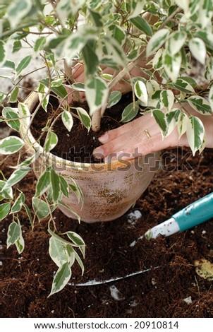 potting a plant