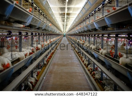 Poultry cage in hen house.Domestic hen,chicken in hen house eating food in feeder.Livestock farm birds feeder.Battery cage domestic incubator for hen,chicken coop.Hen farm bird poultry coop