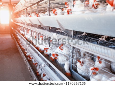 Poultry farm, chickens sit in open-air cages and eat mixed feed, on conveyor belts lie hen's eggs, modern farming, the sun