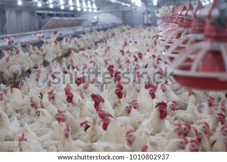 Poultry farm with chicken. Husbandry, housing business for the purpose of farming meat, White chicken Farming feed in indoor housing. Live chicken for meat and egg production inside a storage.