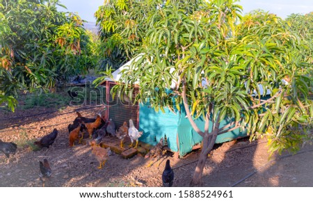 Poultry farming in agriculture field. Combination of poultry farming and agriculture. Free range chicken farming. yarding poultry farming.
