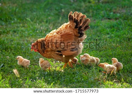 Poultry in a rural yard. Hen and chickens in a grass in the village against sun photos. Gallus gallus domesticus. Poultry organic farm. Organic farming. Sustainable economy. Natural farming.