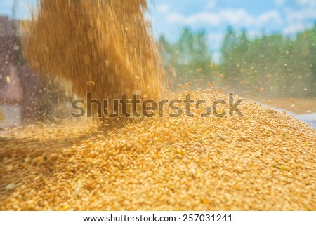 pouring corns of wheat in...