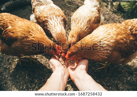 POV image of female hands feeding red hens with grain, poultry farming concept  Photo stock ©