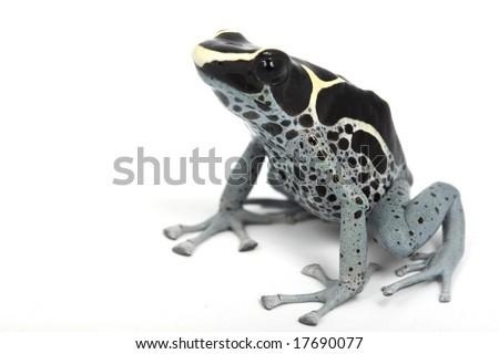 Powder Blue Dyeing Poison Dart Frog (Dendrobates tinctorius) on white background.
