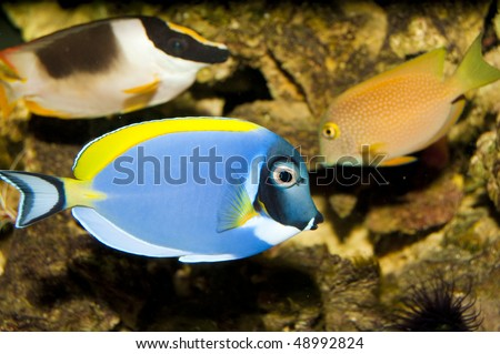 Powder Blue Tang (Acanthurus leucosternon) in Aquarium