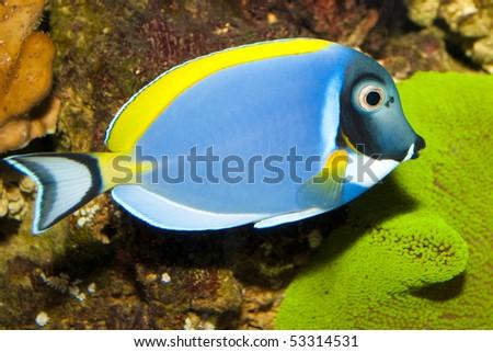 Powder Blue Tang (Acanthurus leucosternon) in Aquarium