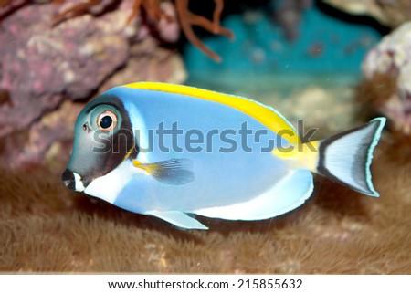 Powder Blue Tang (Acanthurus leucosternon) marine tropical fish