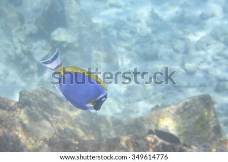 Powder Blue Tang in Indian Ocean near the Seychelles.