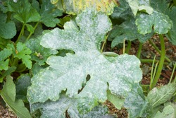 Powdery mildew growing on the leaves of a courgette (zucchini) plant in a UK garden