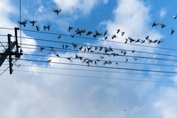 Power-line pigeons all, flying away from favorite roosting position on powerlines