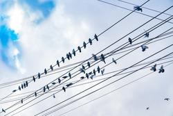 Power-line pigeons roosting, flying away and arriving on favorite powerlines