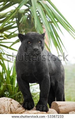 Powerful Black Panther
