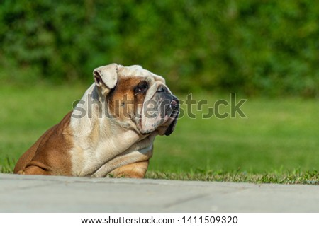 Powerful elderly English Bulldog male lying on the grass with a watchful look peers into the distance. Behind a blurred background with green plants. #1411509320