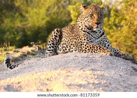Powerful male leopard at rest