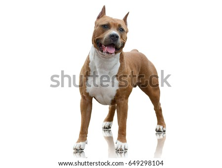 Powerfull American Staffordshire Terrier standing isolated on white background ストックフォト ©