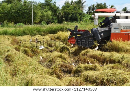 Prachuap Khiri Khan , Thailand - July 3 , 2018 : The Combine harvester harvesting crops in rice field with group of Cattle egret bird catching insect #1127140589