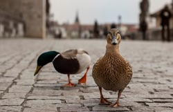 Prague, Czech republic - April 14, 2020. Only two duck on the Charles Bridge without tourist during coronavirus 2019-nCov outbreak on empty Charles Bridge, famous landmark. City without tourists.