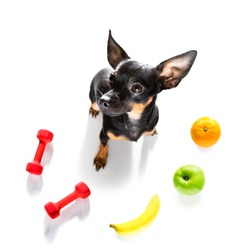 prague ratter dog with guilty conscience  for overweight, and to loose weight , isolated on white background and fresh vegan vegetarian fruit around