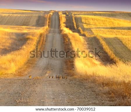 Prairie chicken on the road